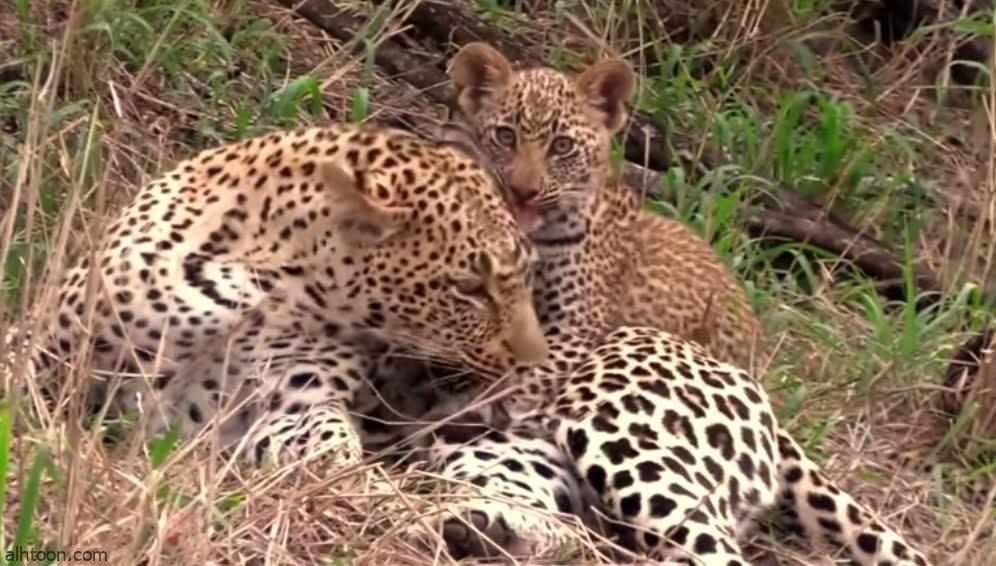 شبل يلعب مع أمه النمر