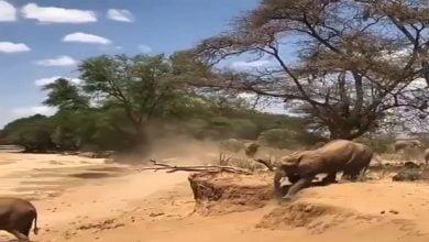 شاهد: صغير الفيل يتعلم من أمه - صحيفة هتون الدولية