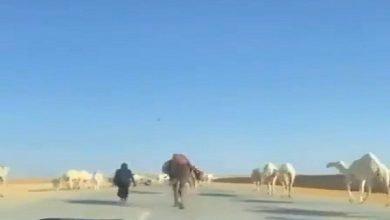 شاهد: إبل تسيطر على طريق في المملكة - صحيفة هتون الدولية