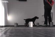 شاهد: الكلاب ترصد المصابون بكورونا - صحيفة هتون الدولية