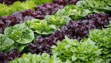 فوائد الخس: جمالية وصحية - صحيفة هتون الدولية