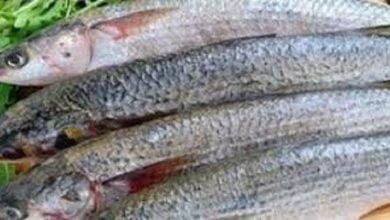 فوائد السمك البوري المذهلة -صحيفة هتون الدولية