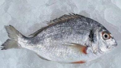 ما هو سمك الدنيس وفوائده -صحيفة هتون الدولية